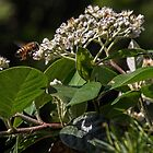 White shrub flower attracting bee Leith Park Victoria 20161129 7862 by Fred Mitchell