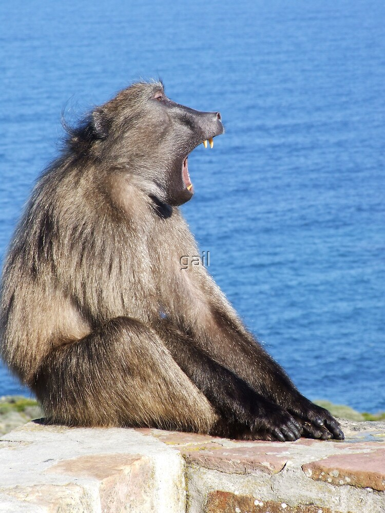 yawning baboon by gail