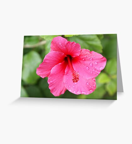 Pink Hybiscus, Gaylords' Garden, La Mirada, CA, USA  Greeting Card