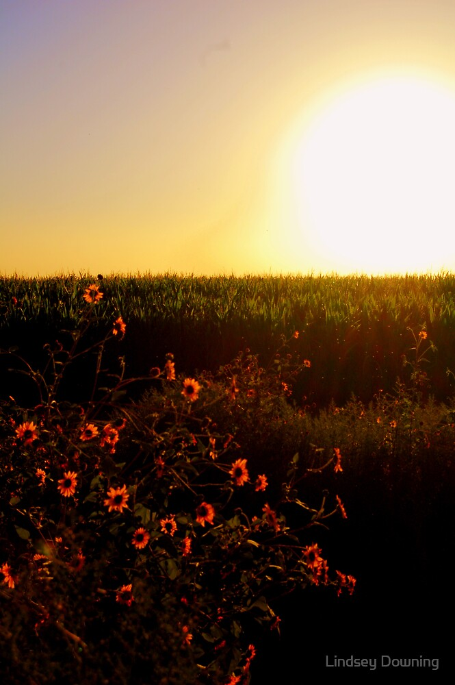 sunflower sunset by Lindsey Downing