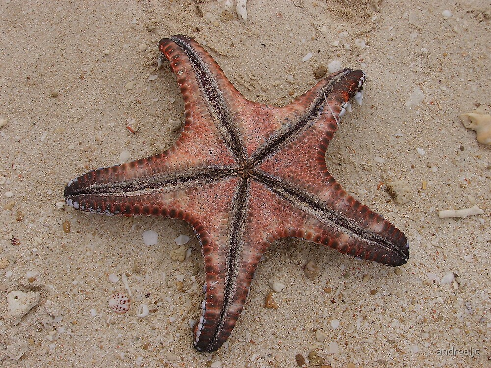 Starfish by andrealjc