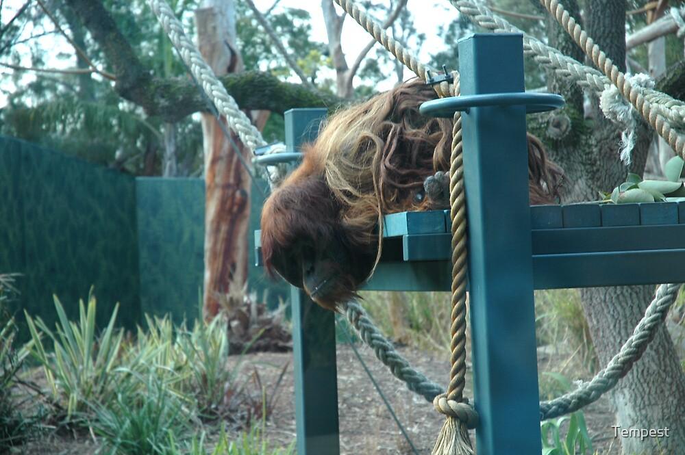 Adelaide Zoo - Orangutan by Tempest