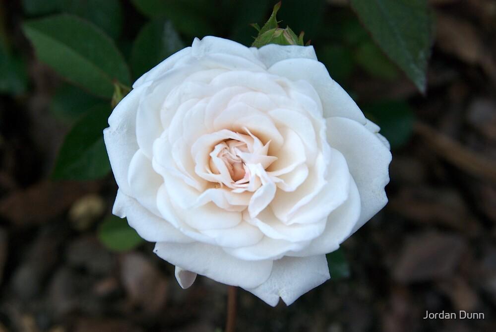 Roses are white. by Jordan Dunn