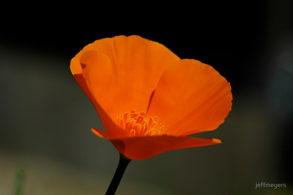 California Poppy by jeffmeyers