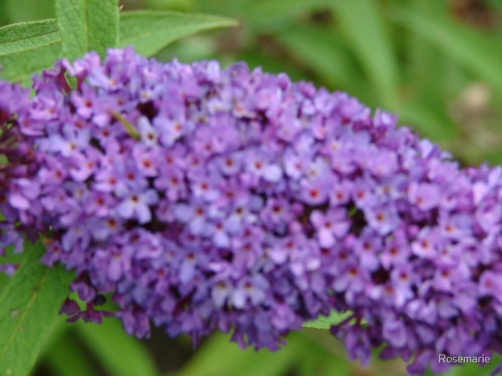 Butterfly Bush by Rosemarie