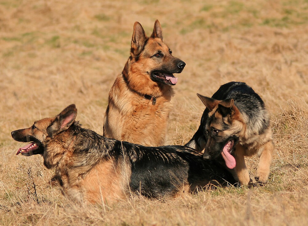 German shepard family by Moth