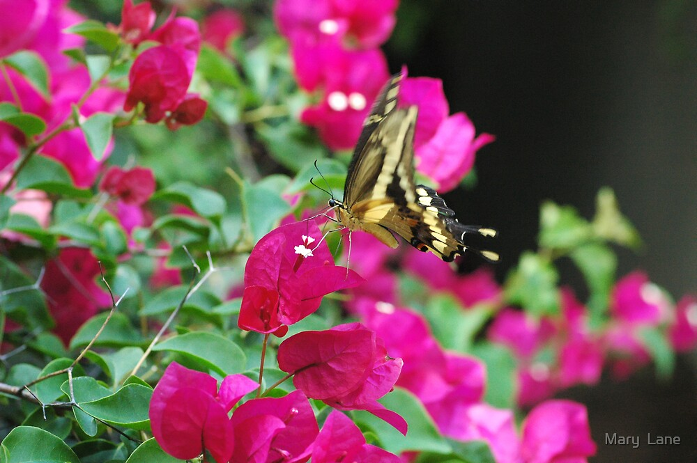 Butterfly and Bouganvilla by Mary  Lane