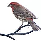 Common House Finch by LarryB007