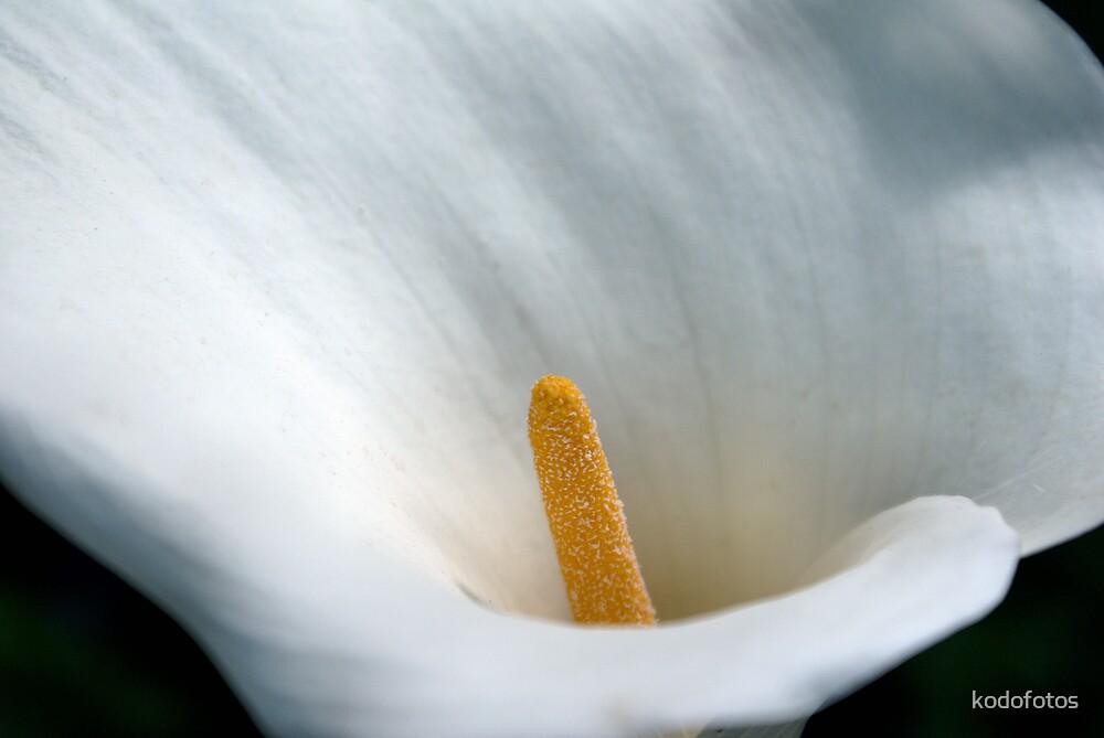 Lily by kodofotos