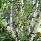 huge white tree by oilersfan11