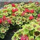 nice red flowers by oilersfan11
