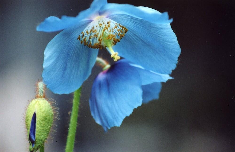 My blue poppy by amadge