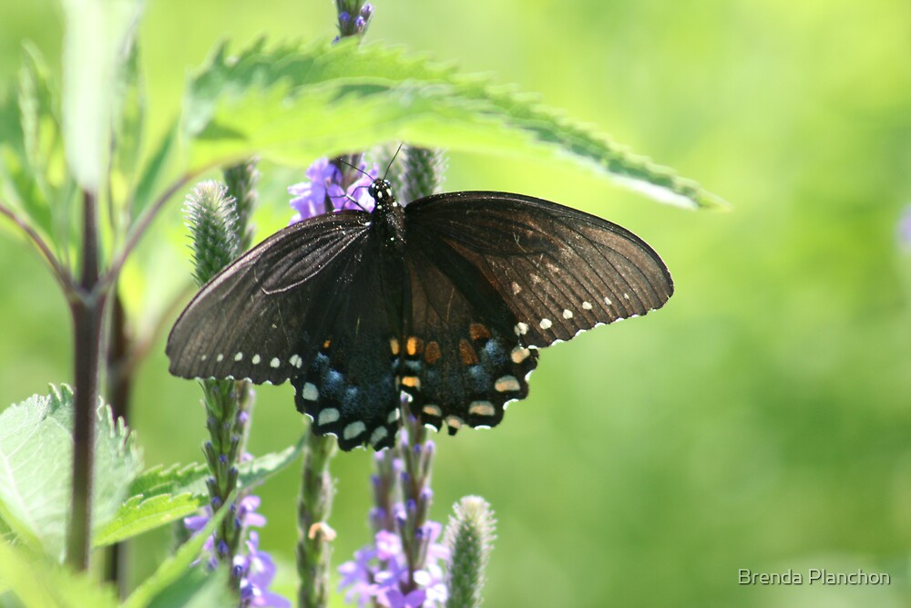 BUTTERFLY SNACK by Brenda Planchon