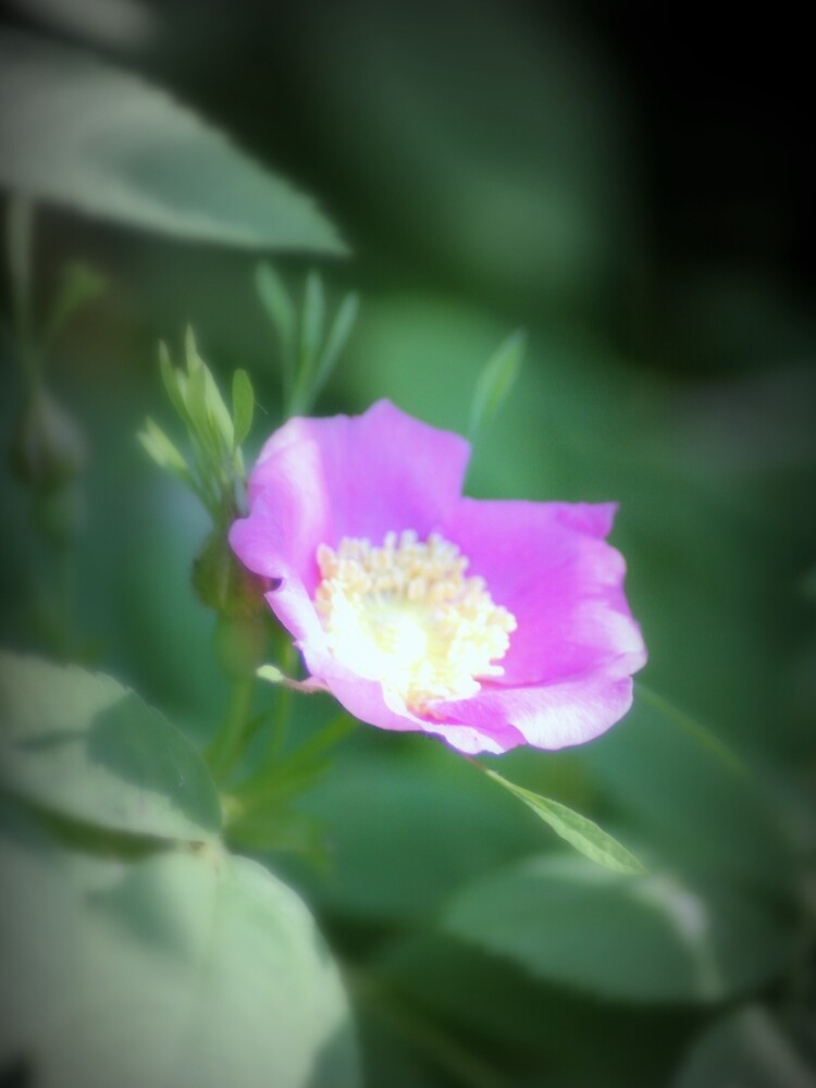 Old fashioned pink rose, near Trojan pond, Oregon by DlmtleArt