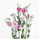 Lisianthus by Heather Prince
