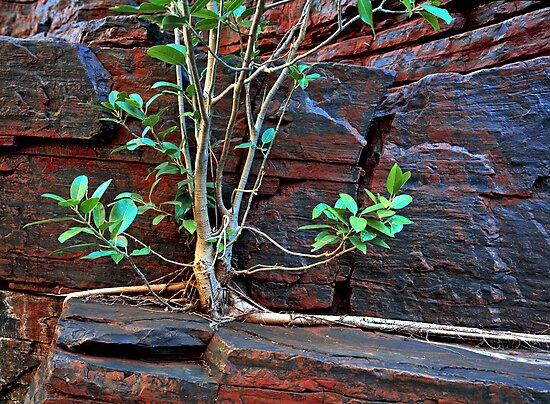 Fig Detail, Joffre Gorge, Karijini NP by Mark Boyle