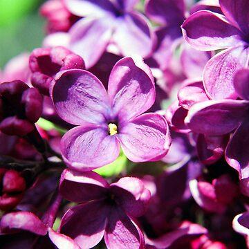 Lilac by birdinsun