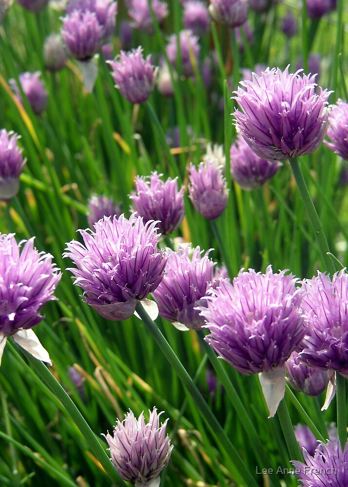 Chives by Lee Anne French