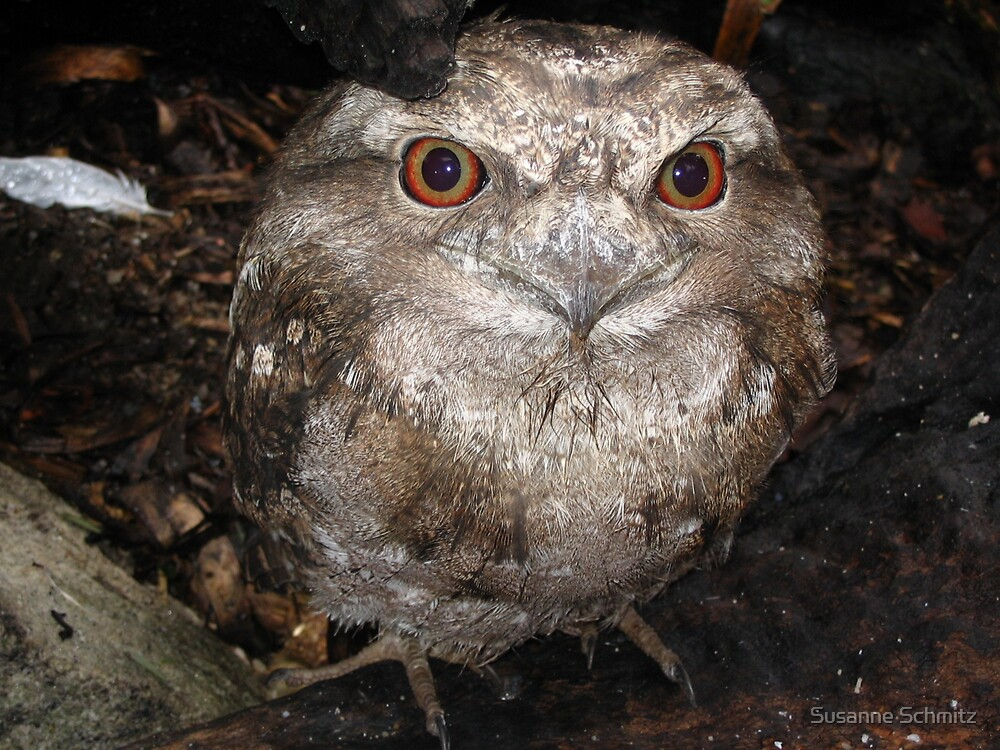 owl by Susanne Schmitz