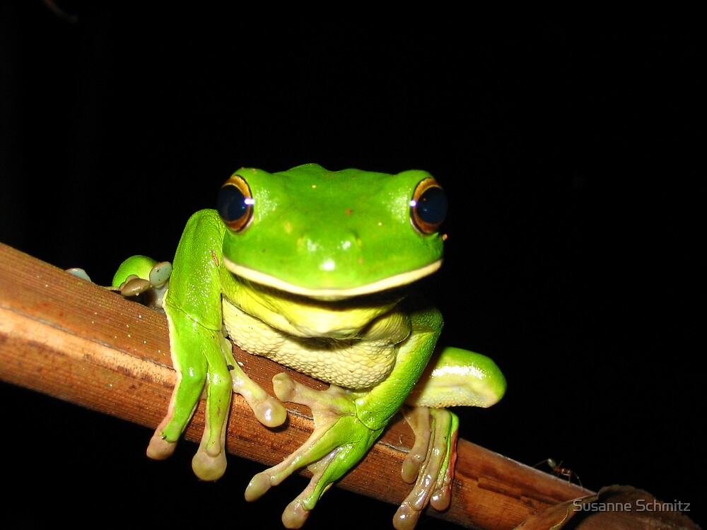 whitelip tree frog front - northern Queensland, Australia by Susanne Schmitz