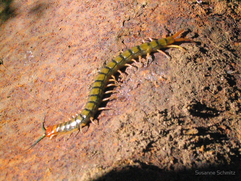 Scolopendrum morpha - centiped - Australia by Susanne Schmitz