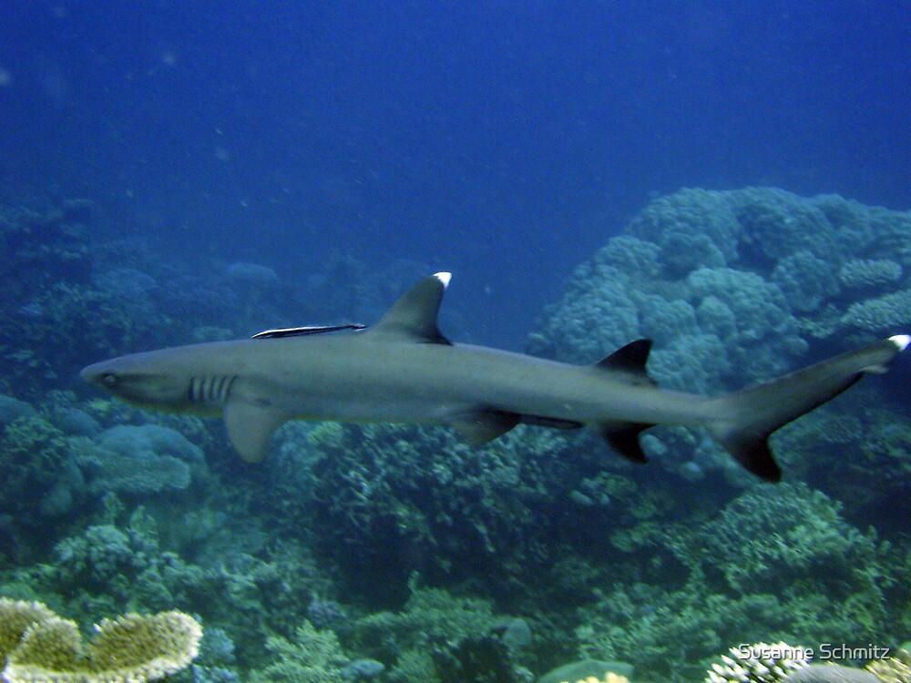 white tip reef shark by Susanne Schmitz