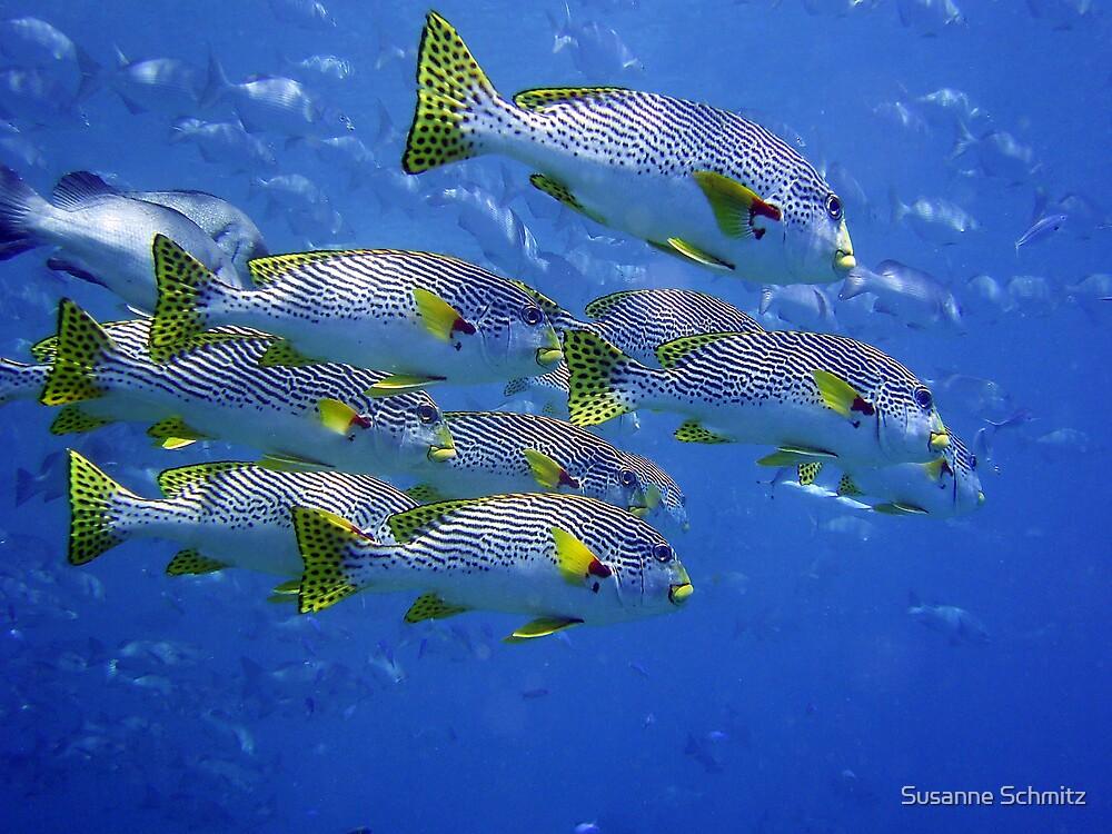 sweetlip - Great Barrier Reef, Cairns, Australia by Susanne Schmitz