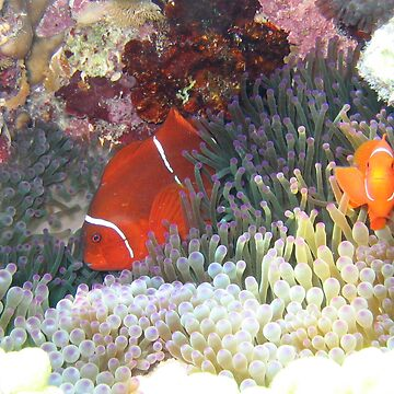 clownfish by sanne424