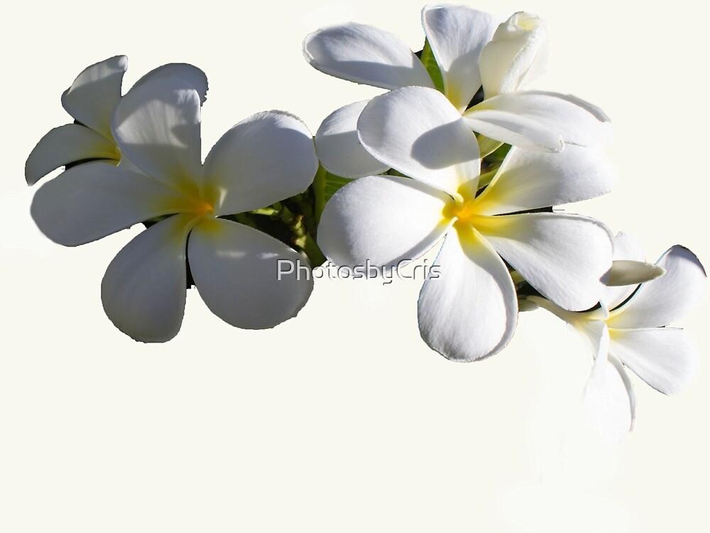Frangipani by PhotosbyCris