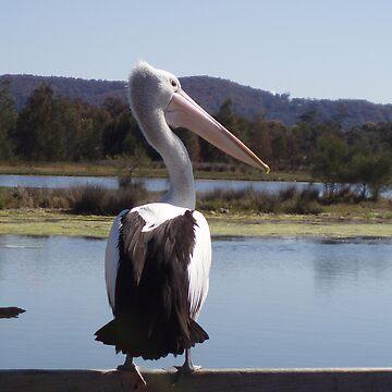 Pelican at Tuggerah Lake Central Coast NSW by beryl