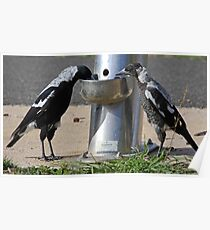 Drinking Magpies Poster