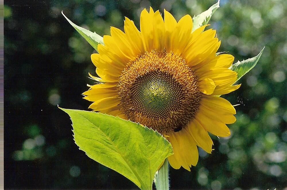 Sunflower by carolynbarriball