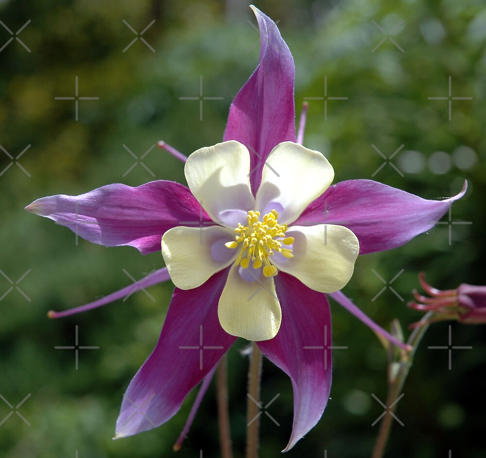 Colorado Columbine Purple by Holly Werner