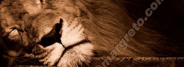 Lion by margreto