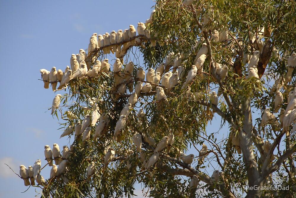 Cockatoo's In A Gum Tree by TheGratefulDad