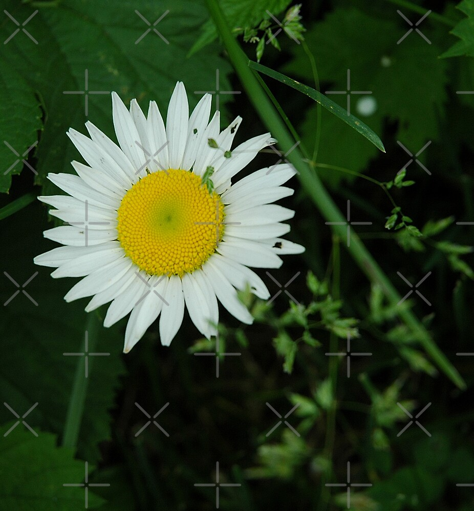 Lone Daisy by Holly Werner