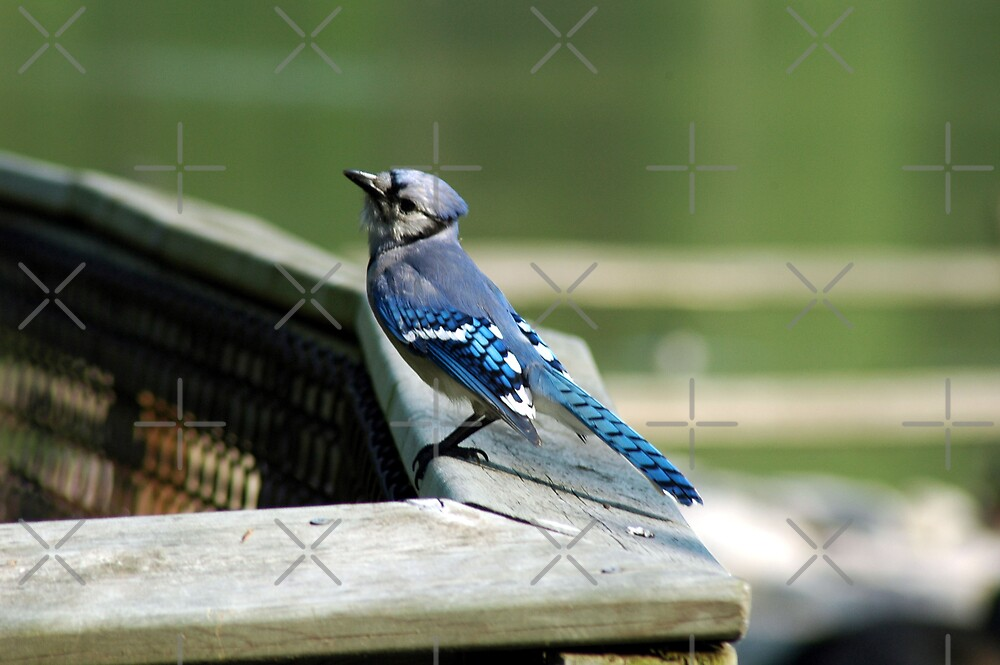 Blue Jay by Holly Werner