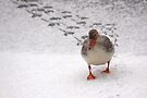 Mallard in the Snow by Jo Nijenhuis