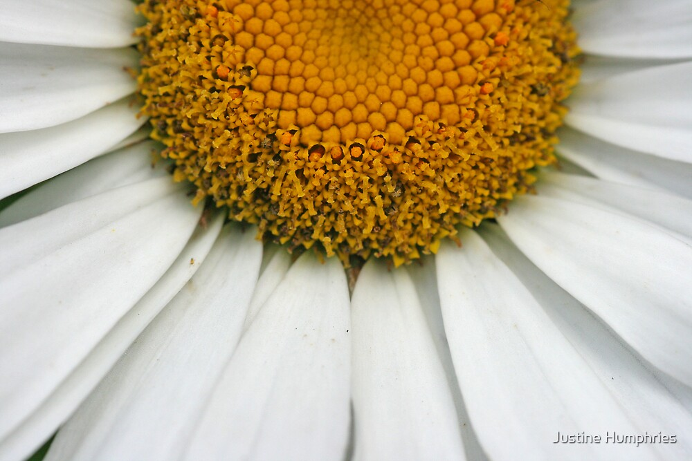 Daisy, Daisy by Justine Humphries