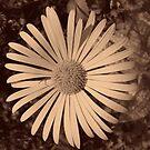 Sepia Daisy. by Arabrab