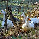 Strange Afternoon With A Flock Of Ducks! by WildestArt