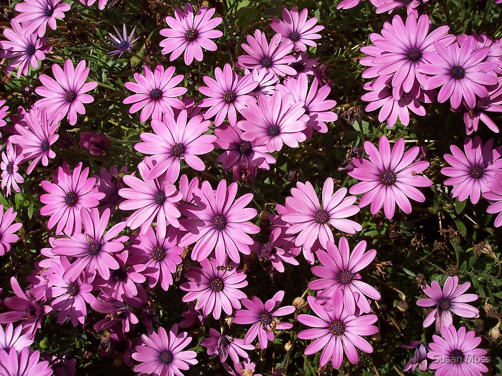 Pink Daisies by Susan Moss
