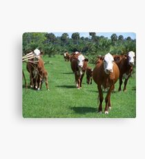 COWS AND MORE COWS Canvas Print