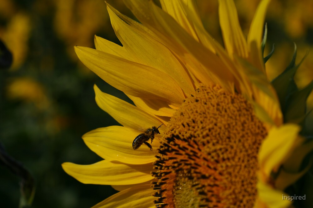 Solo Sunflower Bee by inspired