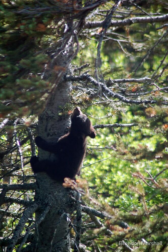 Wild Black Bear Cub Climbing the Tree in Alaska by Brandon Marshall
