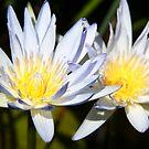 Water Lillies by MagnusAgren