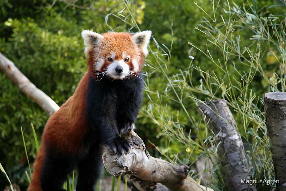 Red Panda by MagnusAgren