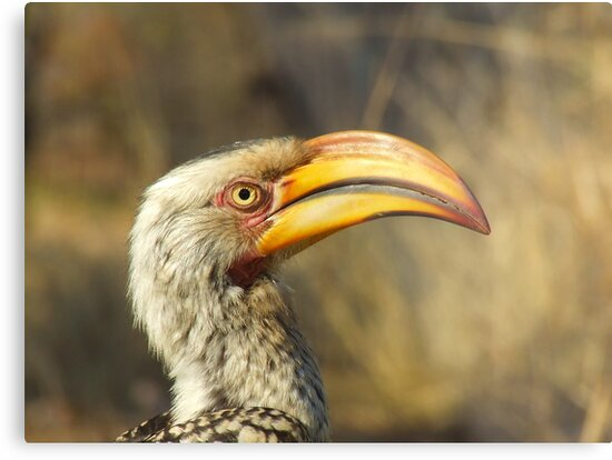 - Yellow Billed hornbill - by Mark Lindsay