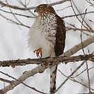 Cooper's Hawk by Todd Weeks