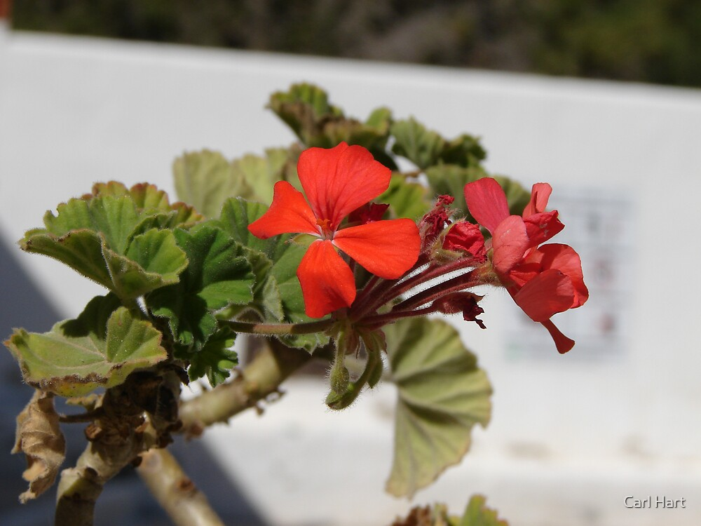 Red flower of Ibiza by Carl Hart